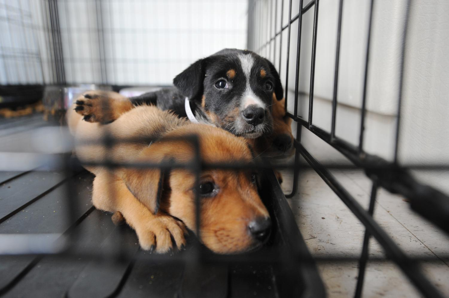Dogs displaced by Hurricane Ike are sheltered at the local center set up by the Humane Society. https://www.fema.gov/media-library/assets/images/54181